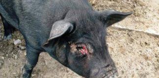 Swine Flu Scare In Odisha's Berhampur